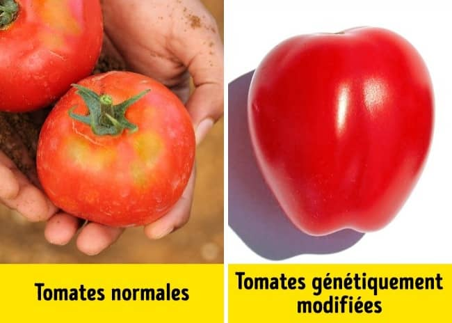 tomates OGM